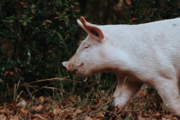 A piglet running through the woods