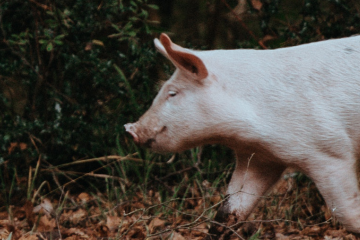 A piglet running through the woods